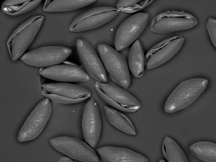 Pollen Amaryllis